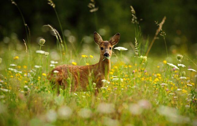 Ree in het gras
